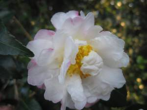 Join Mary Palmer Dargan at the North Georgia Camellia Society