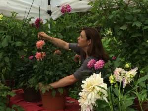 Garden Ideas in North Carolina: A Video on Dahlias