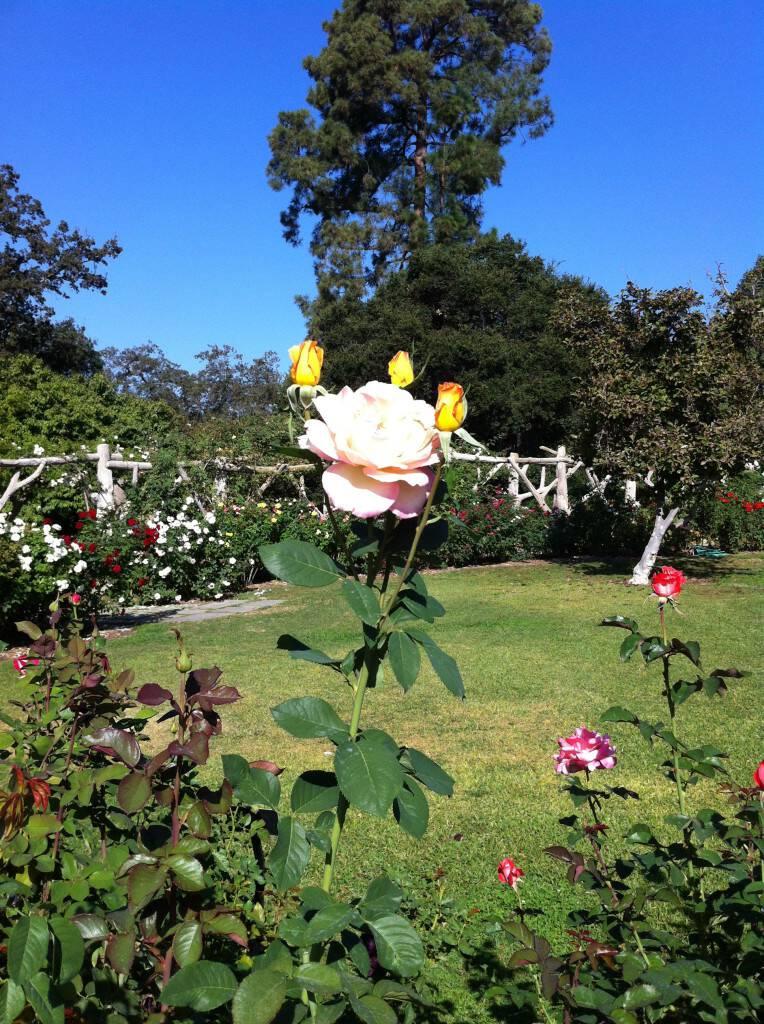 Huntington Museum rose