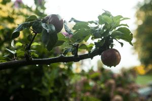 hodges-apple-closeup-blog