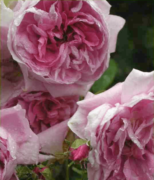 manningly roses